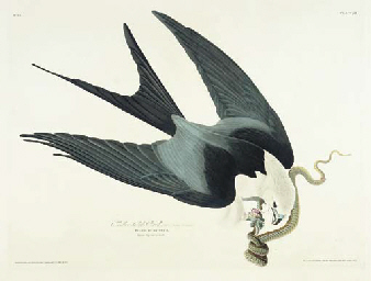 Swallow-tailed Hawk (Plate 72)