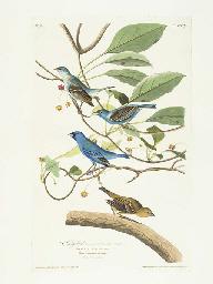 Indigo-bird (Plate 74) Indigo