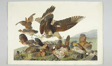 Virginian Partridge (Plate 76)