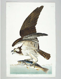 Fish Hawk (Plate 81) Osprey, P