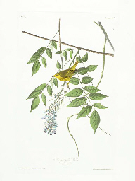 Blue-eyed yellow Warbler (Plat