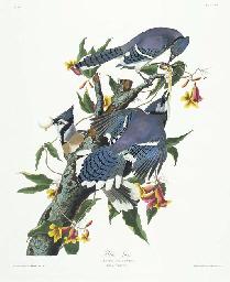 Blue Jay (Plate CII) Cyanocitt