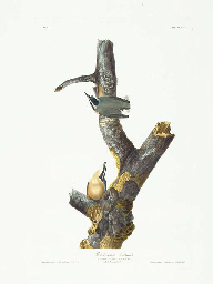Red-breasted Nuthatch (Plate 1