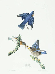 Blue-bird (Plate CXIII) Easter