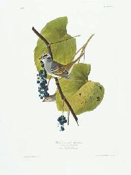 White-crowned Sparrow (Plate C