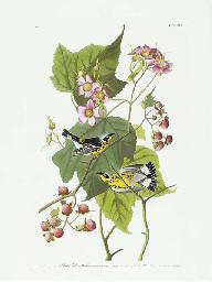 Black and Yellow Warbler (Plat