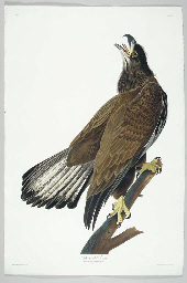 White-headed Eagle (Plate CXXV