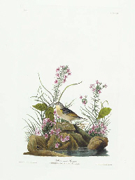 Yellow-winged Sparrow (Plate C