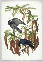 Fish Crow (CXLVI) Corvus ossif