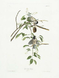 Black-capped Titmouse (Plate C
