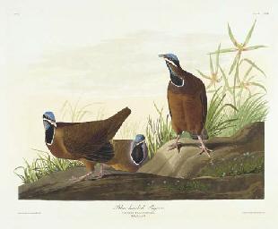 Blue-headed Pigeon (Plate CLXX