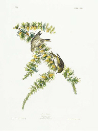 Pine Finch (Plate CLXXX) Pine