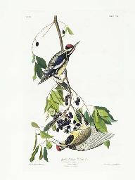 Yellow bellied Woodpecker (Pla