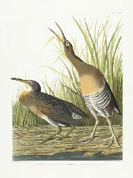 Salt Water Marsh Hen (Plate CC