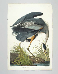 Great blue Heron (Plate CCXI)