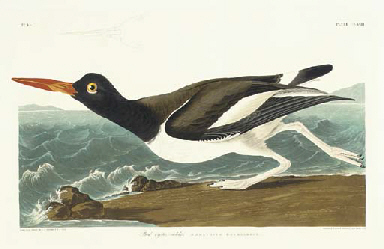 Pied oyster-catcher (Plate CCX