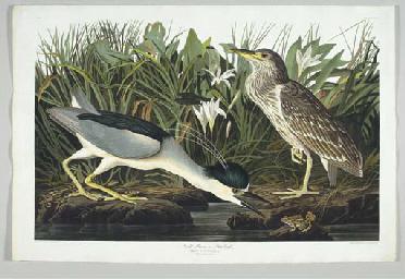 Night Heron or Qua Bird (Plate