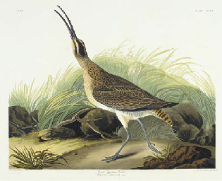 Great Esquimaux Curlew (Plate
