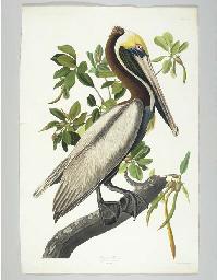 Brown Pelican (Plate CCLI) Pel