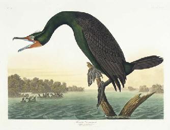 Florida Cormorant... View, Flo