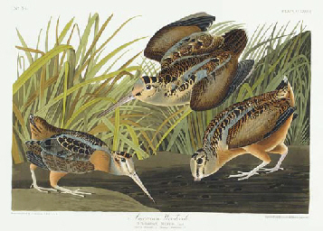 American Woodcock (Plate CCLXV