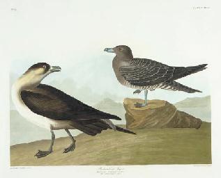 Richardson's Jager (Plate CCLX