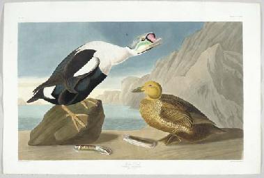 King Duck (Plate CCLXXVI) King