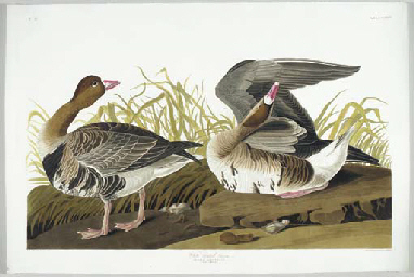 White-fronted Goose (Plate CCL