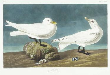 Ivory Gull (Plate CCVXXXVII) P