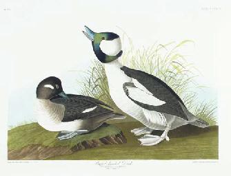 Buffel-headed Duck (Plate CCCX