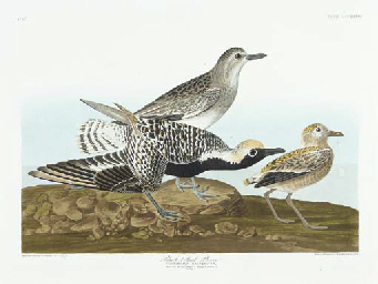 Black-bellied Plover (Plate CC