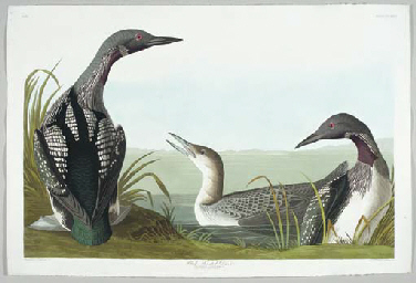Black-throated Diver (Plate CC