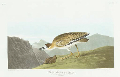 Rocky Mountain Plover (Plate C