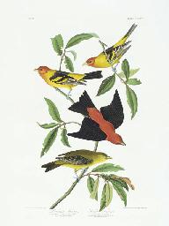 Louisiana Tanager. Scarlet Tan