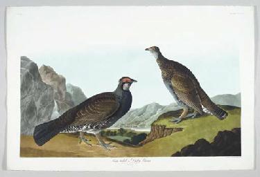 Long-tailed or Dusky Grous (Pl
