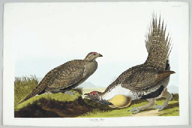 Cock of the Plains (Plate CCCL