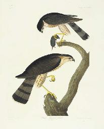 Sharp-shinned Hawk (Plate CCCL
