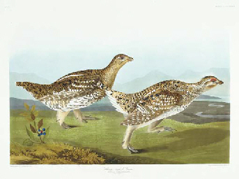 Sharp-tailed Grous (Plate CCCL
