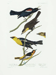 Nuttall's Starling. Yellow-hea