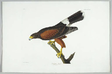 Louisiana Hawk (Plate CCCXCII)