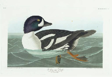 Golden-eye Duck (Plate CCCCIII
