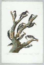 Maria's Woodpecker. Three-toed