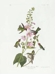 Columbian Humming Bird (Plate