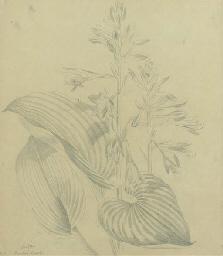 Funckia Sieboldu, Plantain Lil