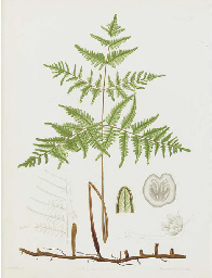 The Ferns of North America: Si