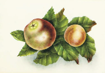 Still life with an apple and a