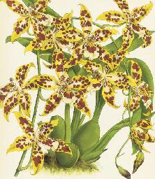 The Orchid Album, Comprising C
