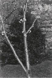 Cherry Blossom, circa 1975