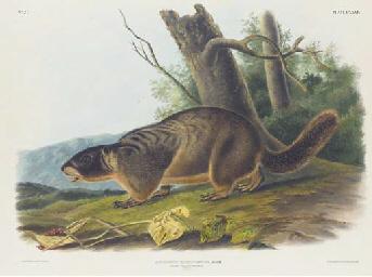 Musk Rat, Musquash. Natural Si