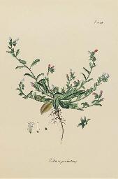 Echium prostratum